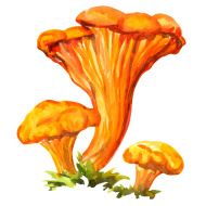 stock-illustration-47707430-yellow-chanterelle-isolated-on-white-background